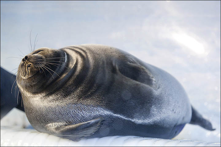 Baikal seal enjoys the sun