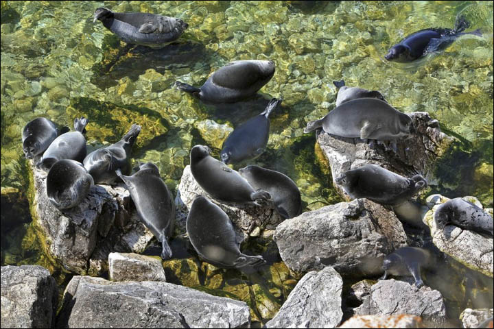 Baikal seals in water