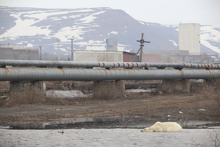 Starving wild polar bear pictured in Norilsk city streets after walking 1,500 km inland in search of food