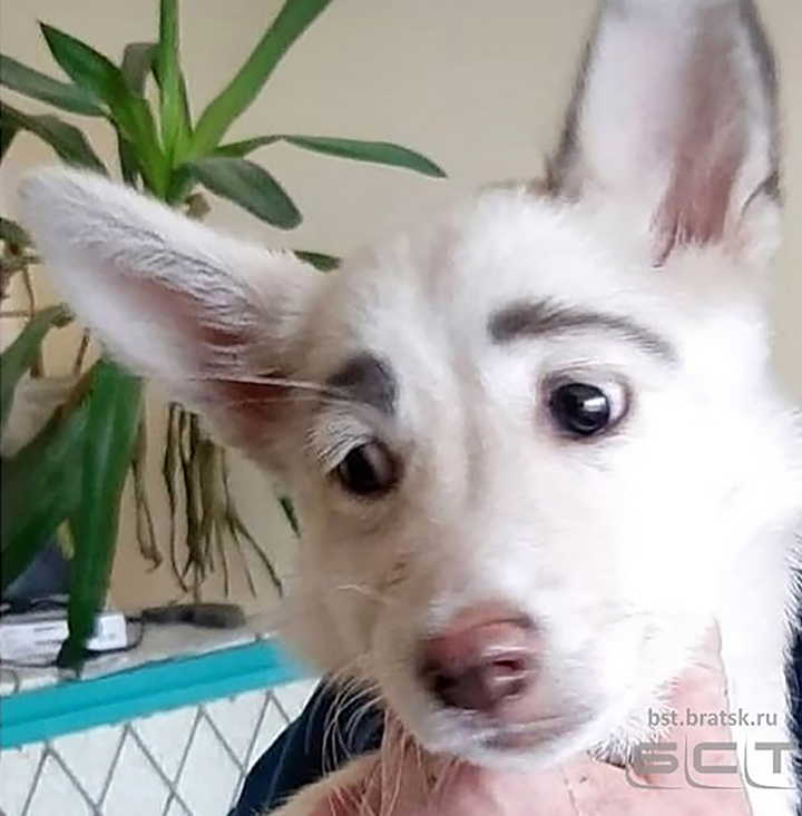 Stray dog from Bratsk finds home and fame thanks to impressive eye-brows