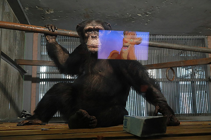 Chimpanzees in Siberian nature park watch cartoons to stay in good mood during Covid-19 crisis