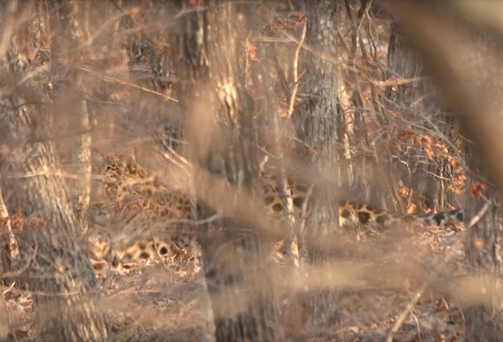 The world's rarest big cat is filmed in stunning video in Far East of Russia