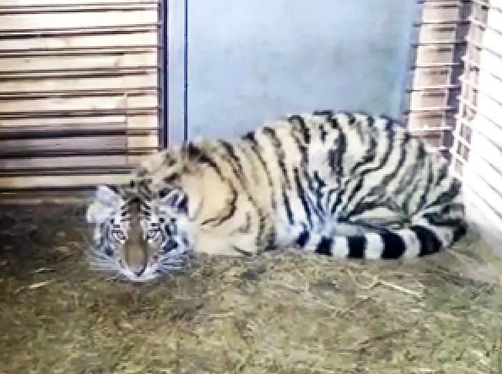 Amur tigress who came out to people to seek help might be a pet who escaped owners or was thrown out