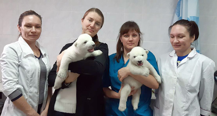 Manicures, massages, warm milk and 24/7 care to raise polar bear cubs whose mother rejected them