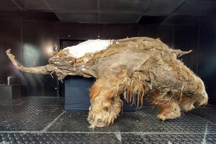 First pictures and video of soft tissues preserved on a newly-discovered woolly mammoth shared by scientists