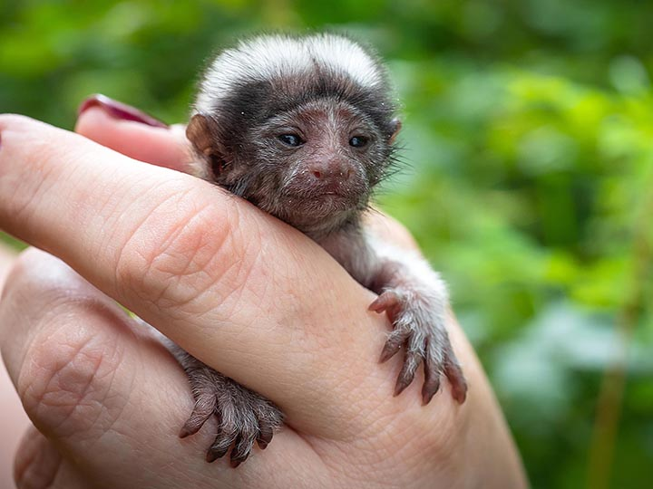 Palm-size rare monkey abandoned by parents who turned all attention to twin baby