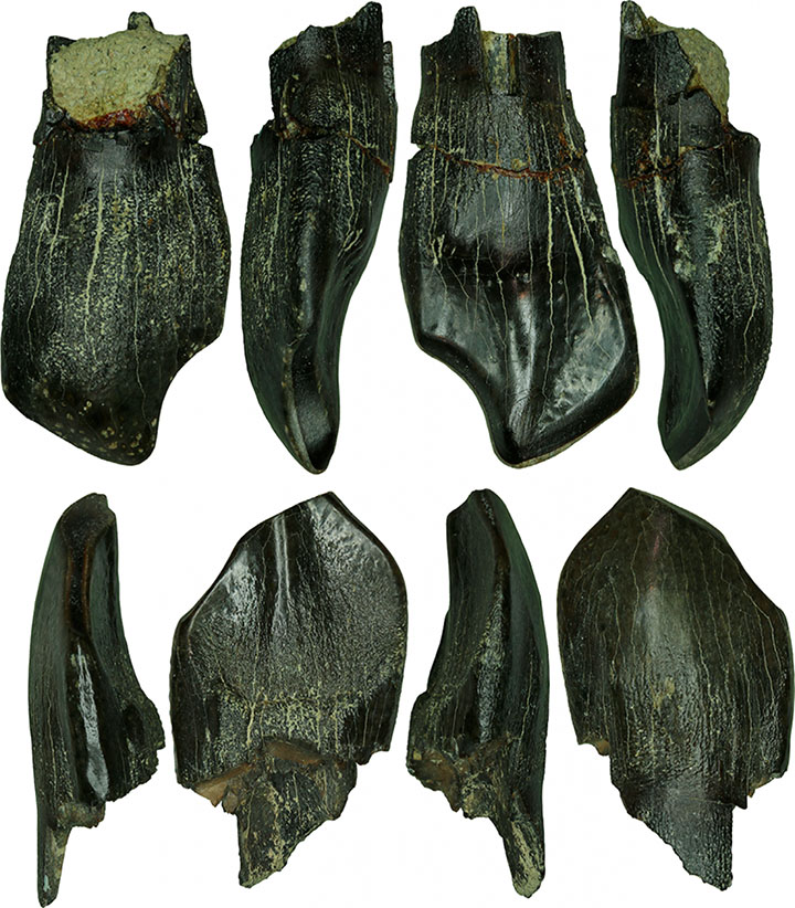 Teeth of adult sauropods