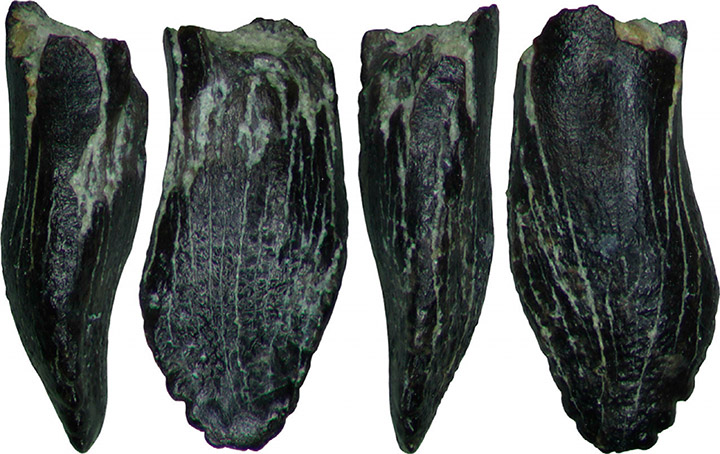 Tooth of juvenile sauropod