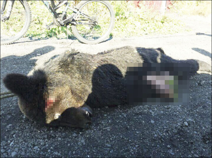 Brown bear killed