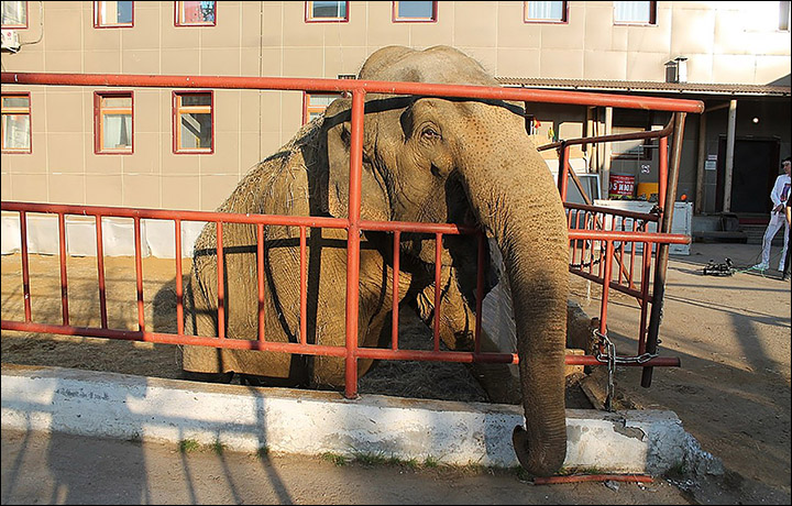 Two circus elephants saved from cold with buckets of vodka